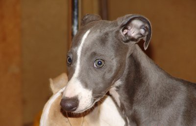 Blue Eyes  Lovely blue and white Whippet Puppy WONDER