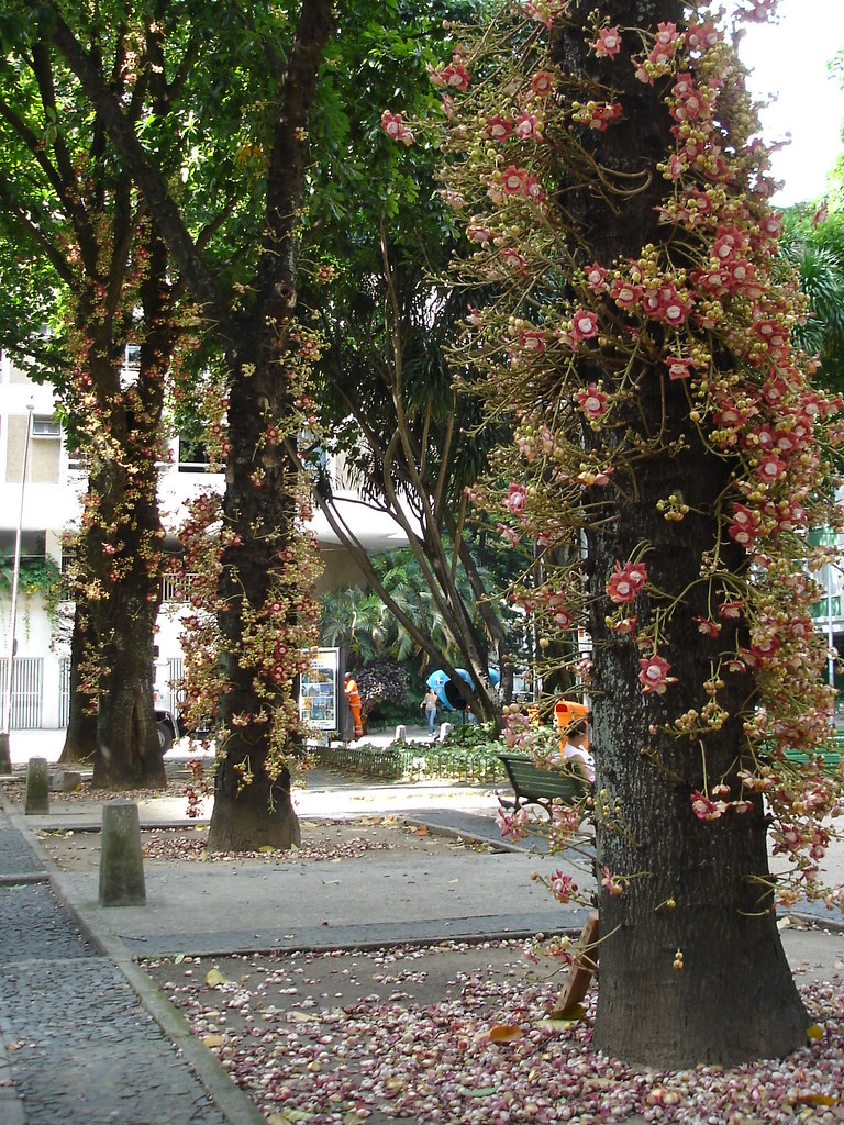 Abricdemacaco  Abricdemacaco or Couroupita guianensis  Flickr
