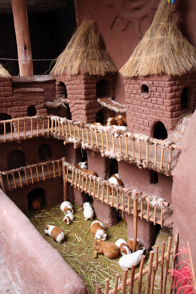 Guinea Pig Palace  Treated like royalty till they are