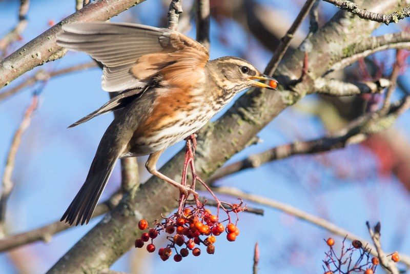 Redwing - another well namedvisitor from the far north.