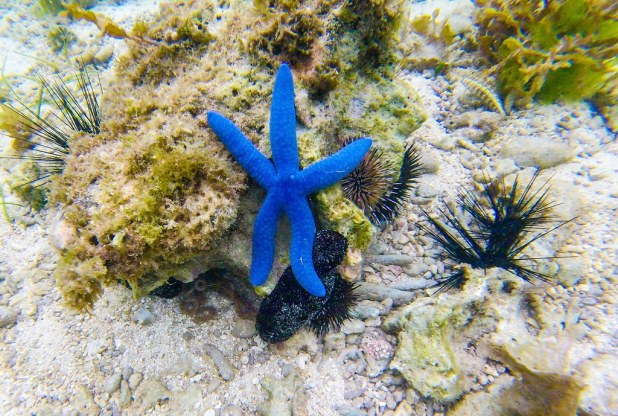 Estrella azul, Alona