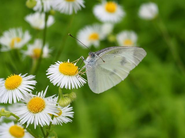 Gray-veined white butterfly (Pieris melete, スジグロシロチョウ)