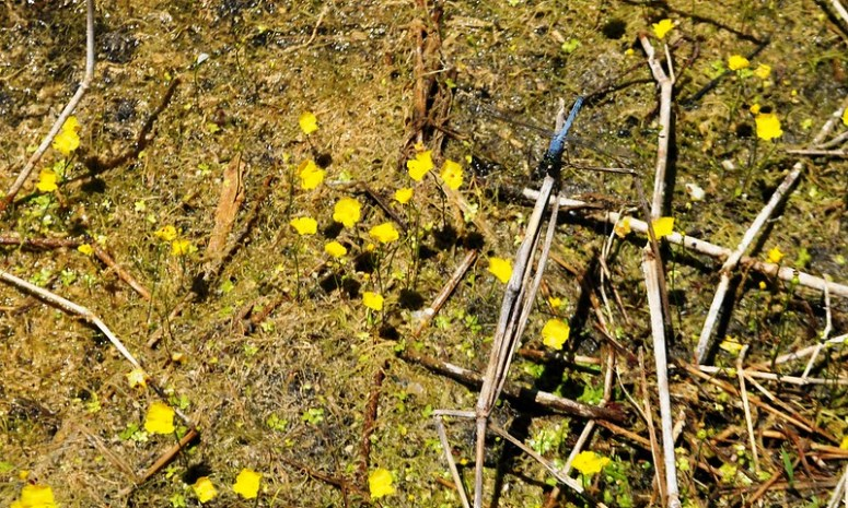 Can you spot the dragonfly? Lake Apopka Wildlife Drive, Fla., May 31, 2015