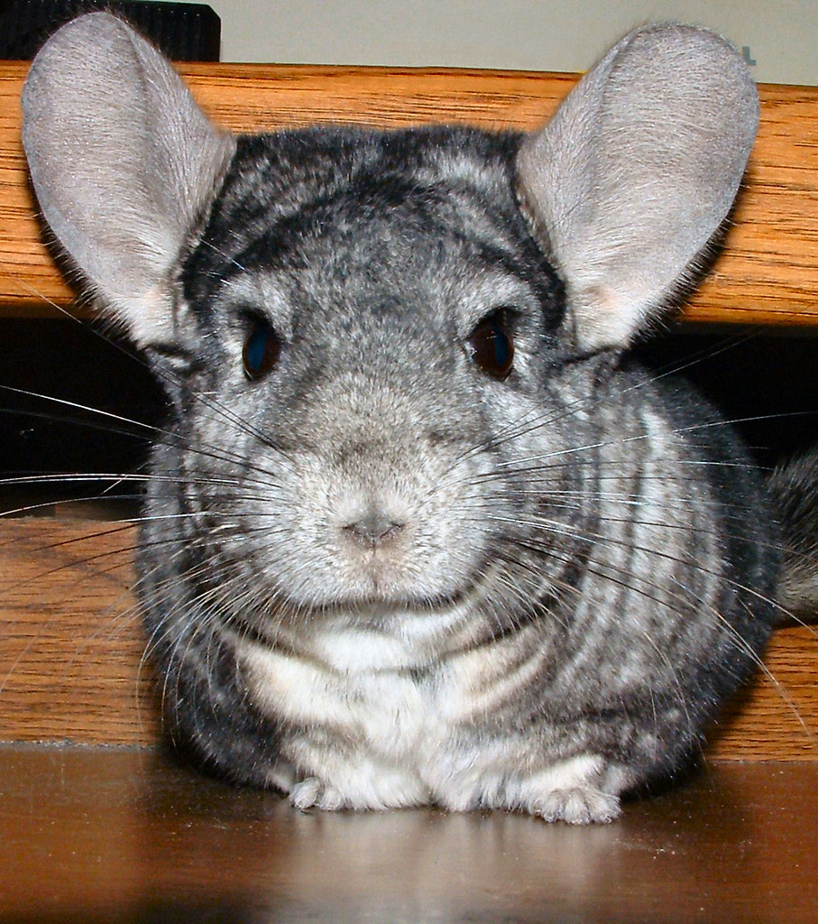 My What Big EARS You Have  My chinchilla playing on