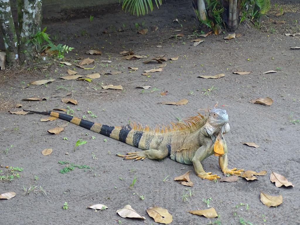 Iguana Parque Nacional Tortuguero Costa Rica 31