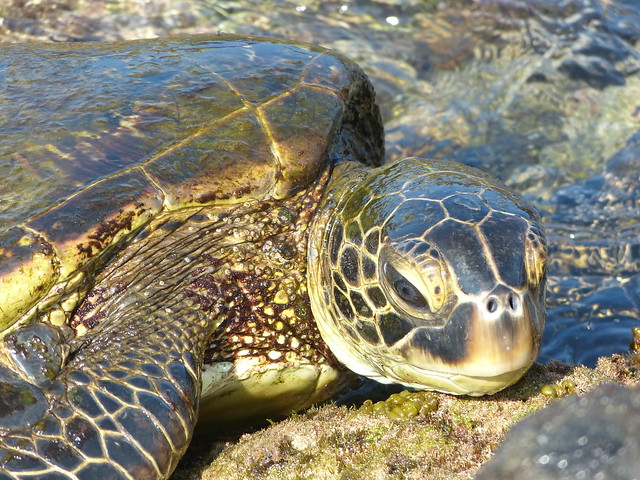 Big Island in 3 days: sea turtle at Pae'a