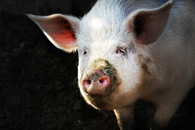 Big Fat Pig  Smiling to you  This is one of the White