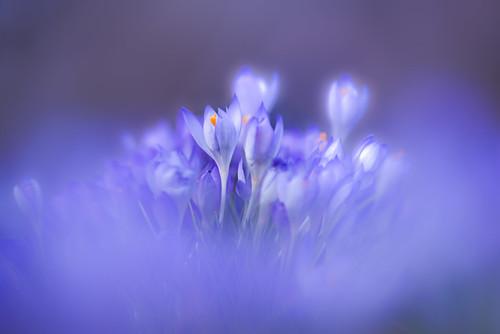 Krokusse - Frühlingsvorboten (c) by louhma