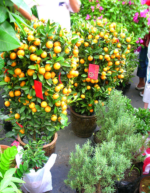 good fortune trees  kiat kiat or mandarin orange trees dec  Flickr