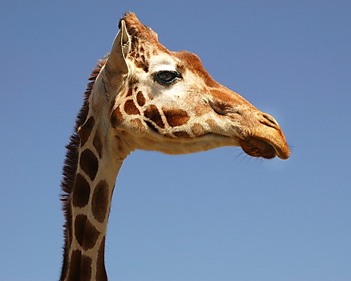 Giraffe in Profile  Taken at Fossil Rim Wild Life Preserve   Flickr