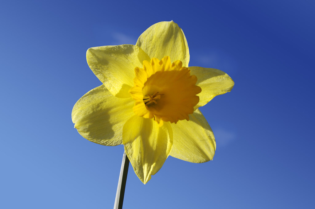 3d Wallpaper Yellow Single Daffodil A Single Daffodil Against A The Blue Sky