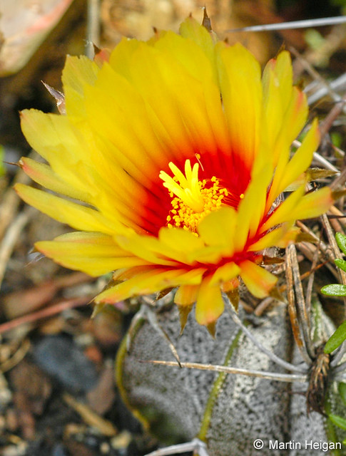 Astrophytum Capricorne Cactus Flower The Beautiful Flower Flickr