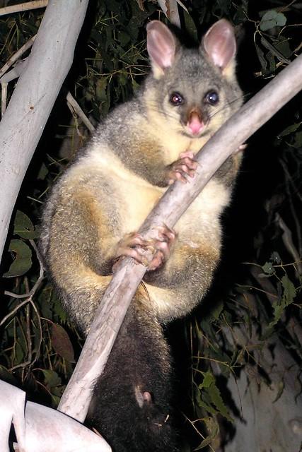 Brushtailed possum  Met last night wwwnationalparksnsw  Flickr