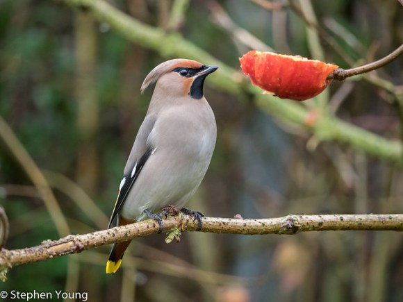 Waxwing at Rspb Rainham marshes