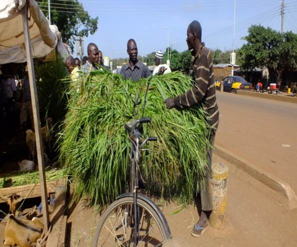 A man uses his bicycle to transport livestock fodder after purchasing from the market (Photo credit: ILRI/Solomon Konlan)
