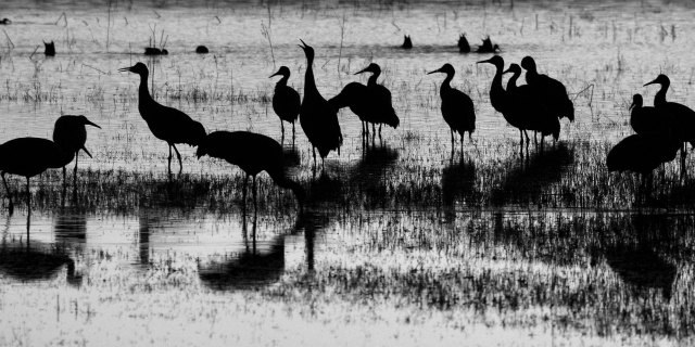 Sandhill cranes (Grus canadensis) at Bosque del Apache National Wildlife Refuge, Socorro Co., New Mexico, USA.