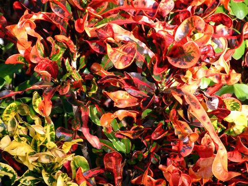 Curly Leaf Croton  To solve this Photo Jigsaw Puzzle
