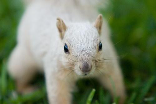 Eddie the Albino Squirrel  Albino squirrel on the Texas