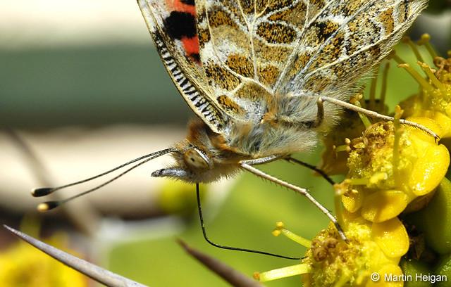 Butterfly Drinking Flower