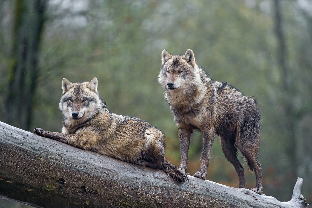 Animal Rights Wallpaper Two Wolves Posing On The Log Two Brown Wolves Posing On