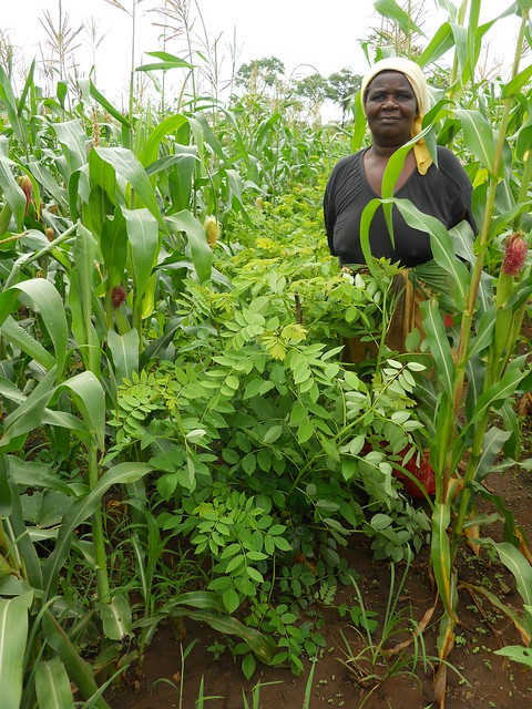 COMACO Gliricidia/maize intercropping field. Photo credit: Christian Thierfelder/CIMMYT