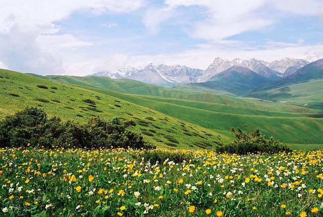 Pturage Fleuri Flowers In The Pasture Kirghizstan