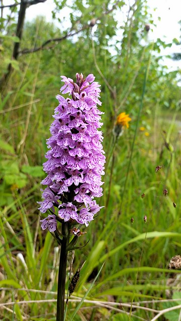 Common solstice orchid