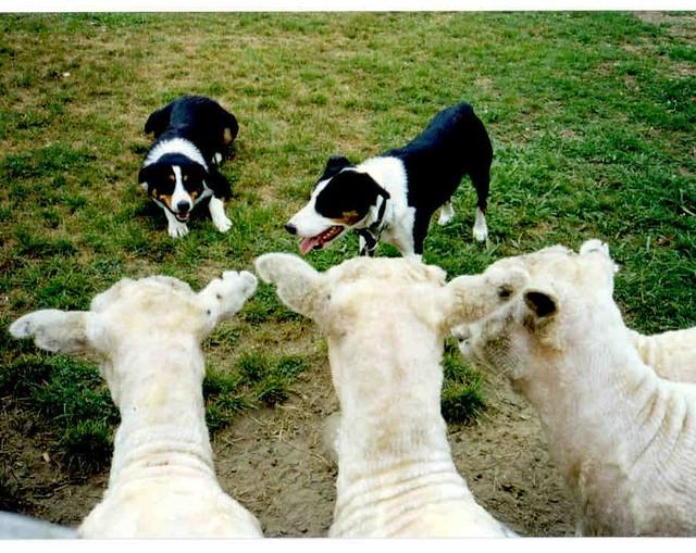 Sheep Dogs White Herding