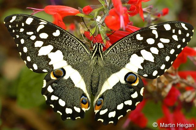 Citrus Swallowtail Butterfly  A Citrus Swallowtail Butterfl  Flickr