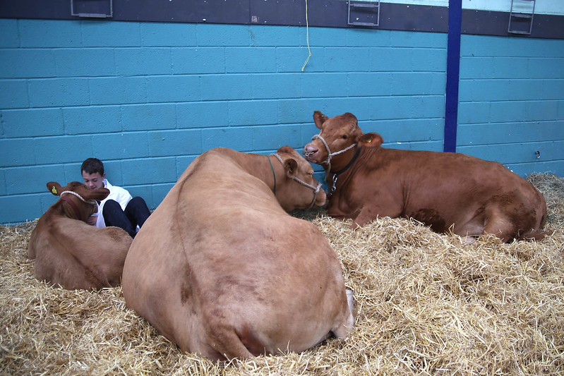 Giant cows at Royal Bath and West show
