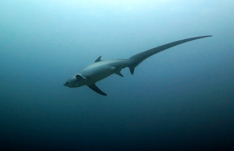 Thresher Shark, tiburón zorro o azotador