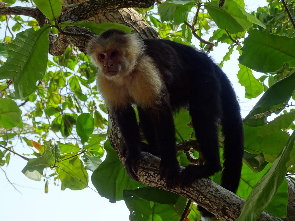 Costa Rica Mono Capuchino Parque Nacional Manuel Antonio 23