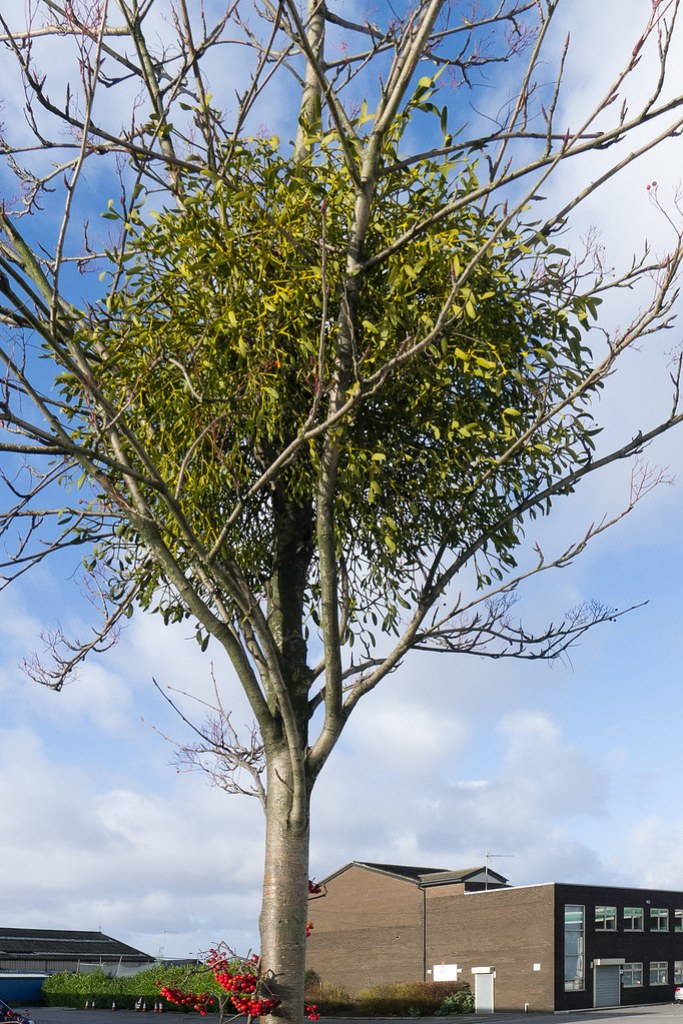 Mistletoe growing on a Rowan outside a petrol station