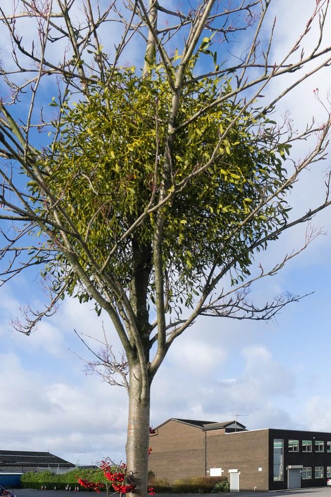 Mistletoe growing on a Rowan outside a petrol station