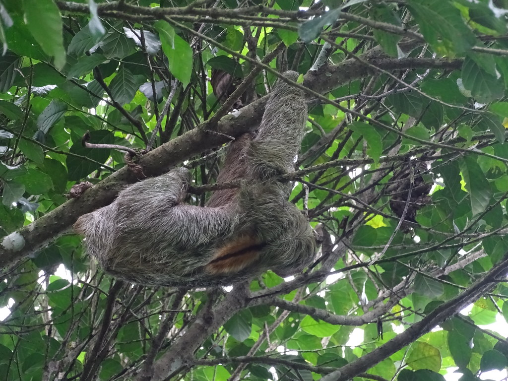 Oso perezoso Sendero las Heliconias Parque Volcan Arenal La Fortuna Costa Rica 18