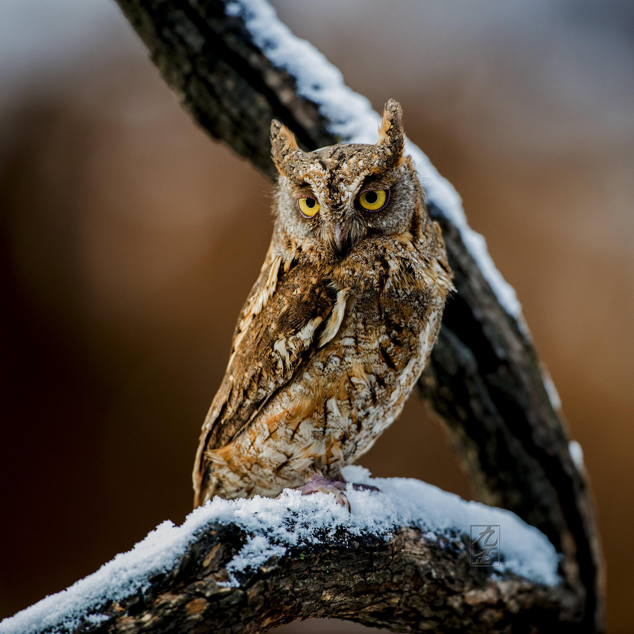 東方角鴞 Oriental Scops Owl - Raptors 猛禽 - HKBWS Forum 香港觀鳥會討論區 - Powered by Discuz!