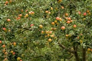 manzano con manzanas