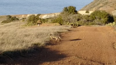 Catalina Island Fox | I stopped to take some photos and ...