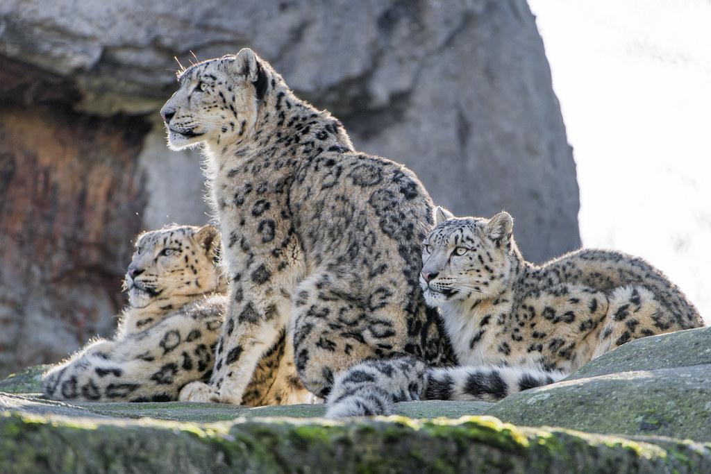 Jaguar 3d Wallpaper Snow Leopard Family The Last Picture Showing Three Snow