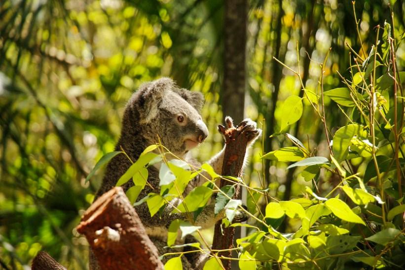 En koala i Australien