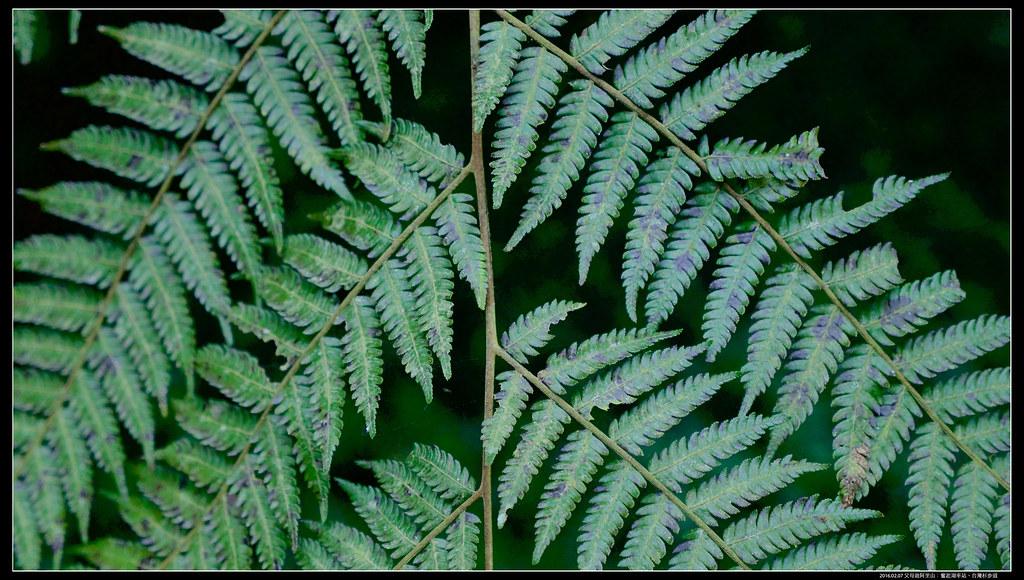 P1230742 (1) | 臺灣樹蕨有三種:鬼桫欏、臺灣桫欏、筆筒樹。(其實還有第四種:臺灣樹蕨。因為臺灣樹蕨非常 ...