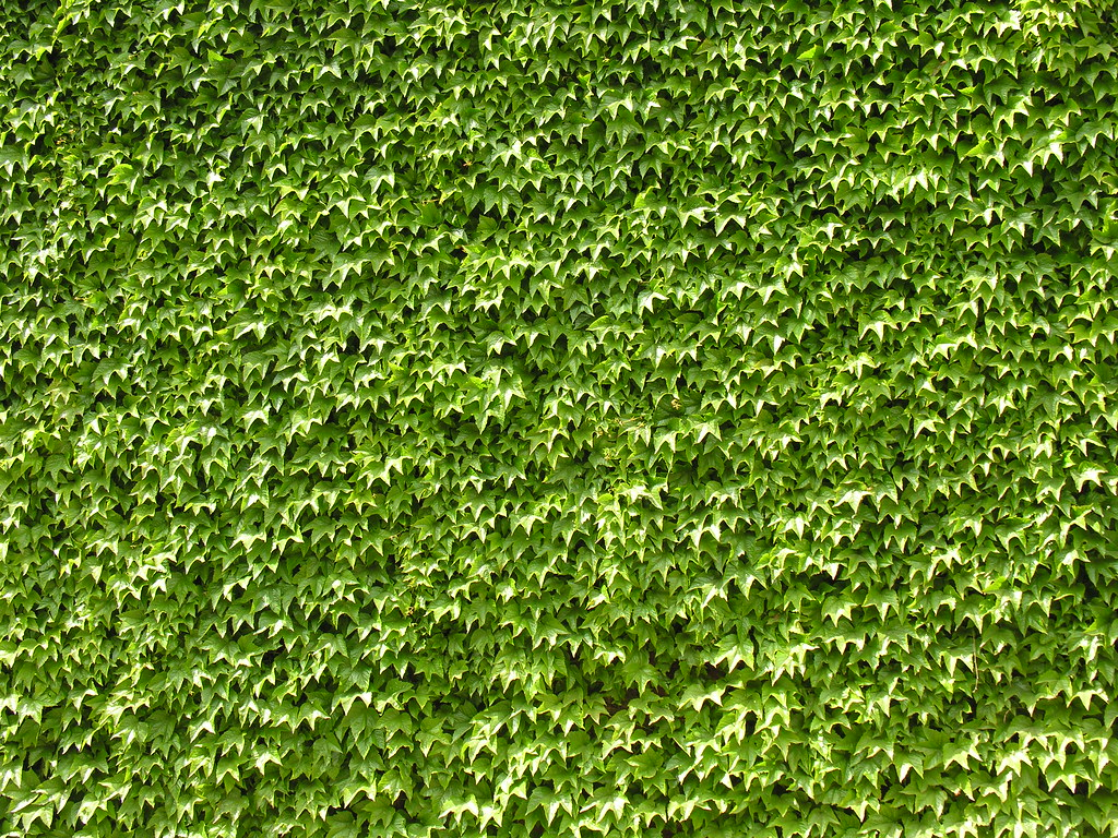 Foto Wallpaper 3d Wall Of Ivy A Wall Of Ivy Just Off Clifton Road