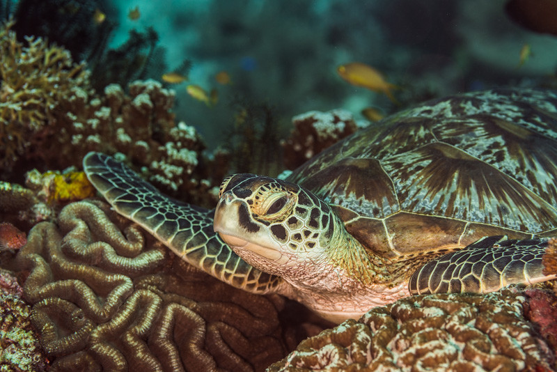Green sea turtle chilling on the corals
