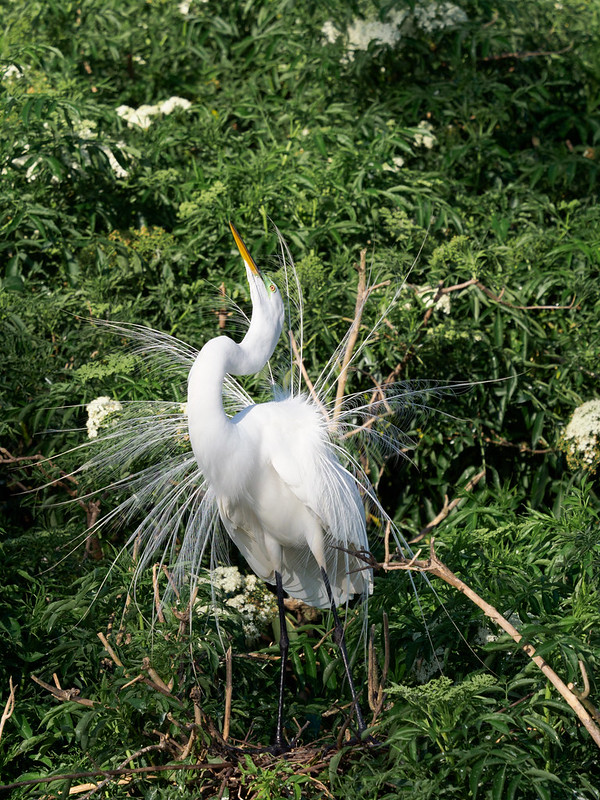 Great Egret display