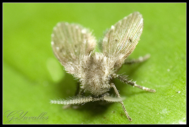 Moth Fly  A tiny insect measuring about 5mm in length and