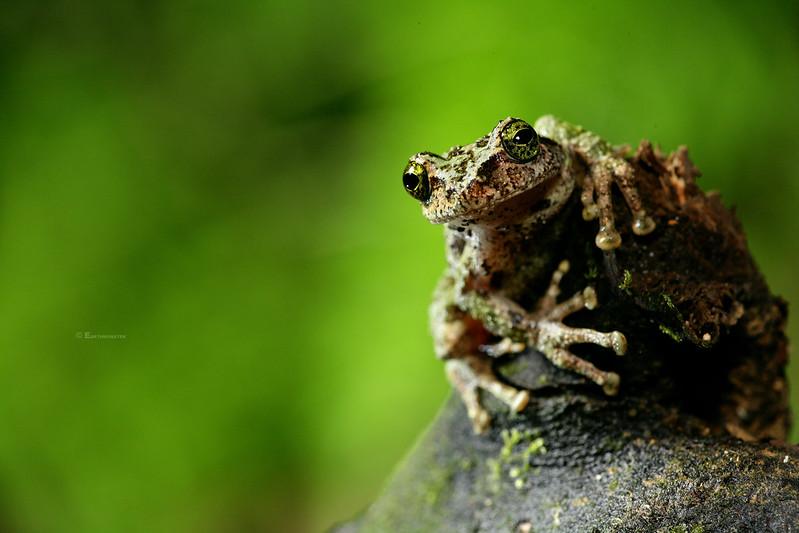 Silence Whisper: 碧眼樹蛙,王氏樹蛙與艾氏樹蛙