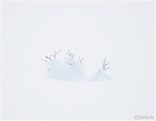 struikje bedekt met sneeuw.