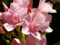 Adelfa/Oliander Flower | I spent seven months in Africa ...