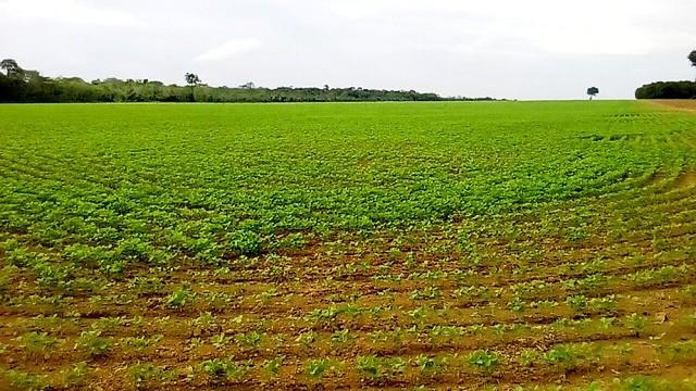 Plantio de soja em fazenda na cidade de Mojuí dos Campos