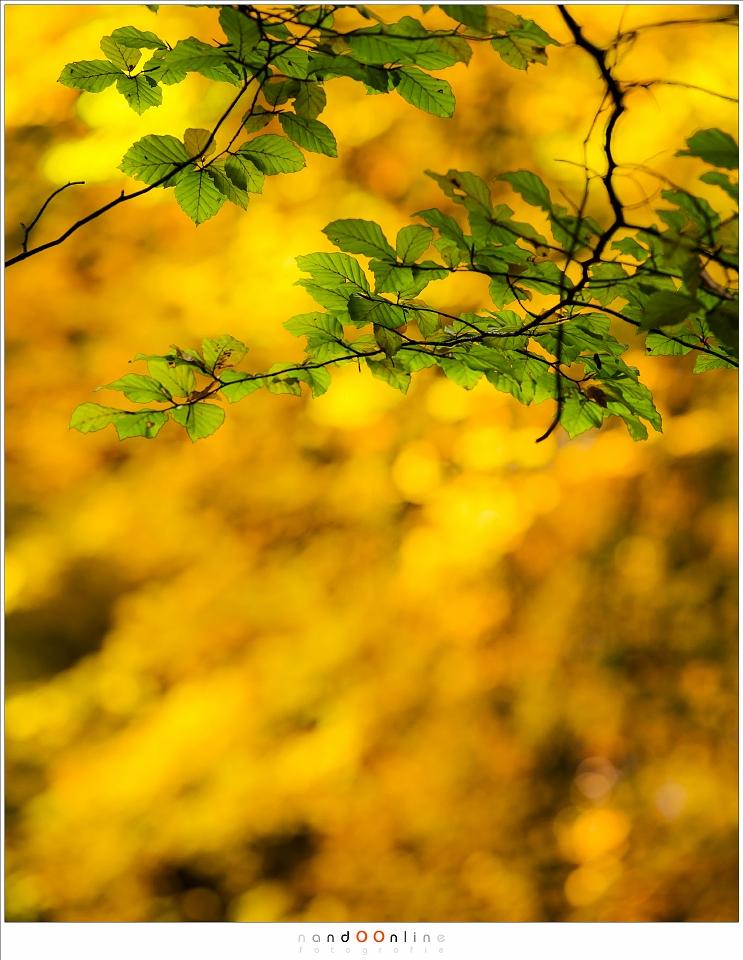 Het contrast van Herfstkleuren: de laatste groene beukenbladeren tegen het gouden bladerendek van de in herfsttooi geklede beukenbomen (ISO200, f/4, 1/200, -0,6EV,  160mm brandpunt)